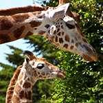 Två giraffer, en vuxen och en unge, vid träd. Foto: IDS.photos, Flickr, cc by-sa 2.0